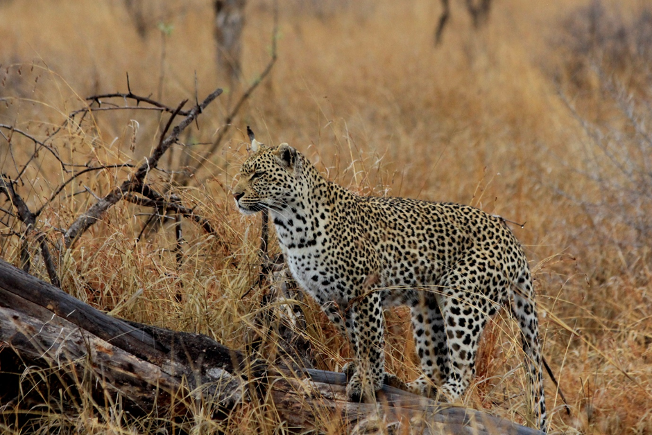 The stunning Nompethu female, scanning her surroundings for prey. Photograph by Heléne Ramackers