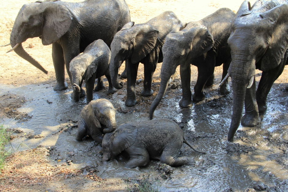 My welcoming committee of a herd of elephants with little ones having a muddy roll-around. Photograph by Heléne Ramackers