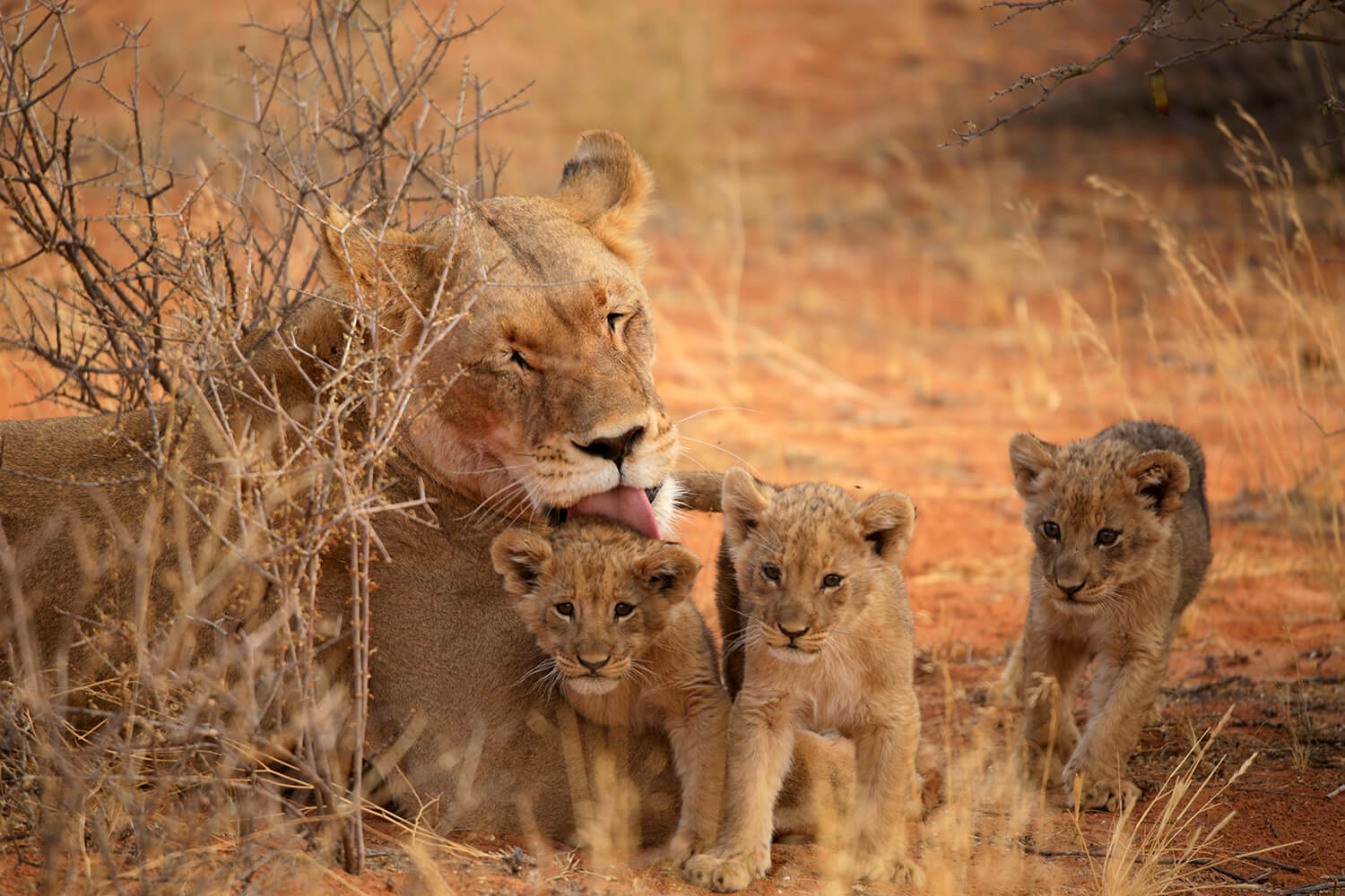 a lioness and her cubs by Tswalu